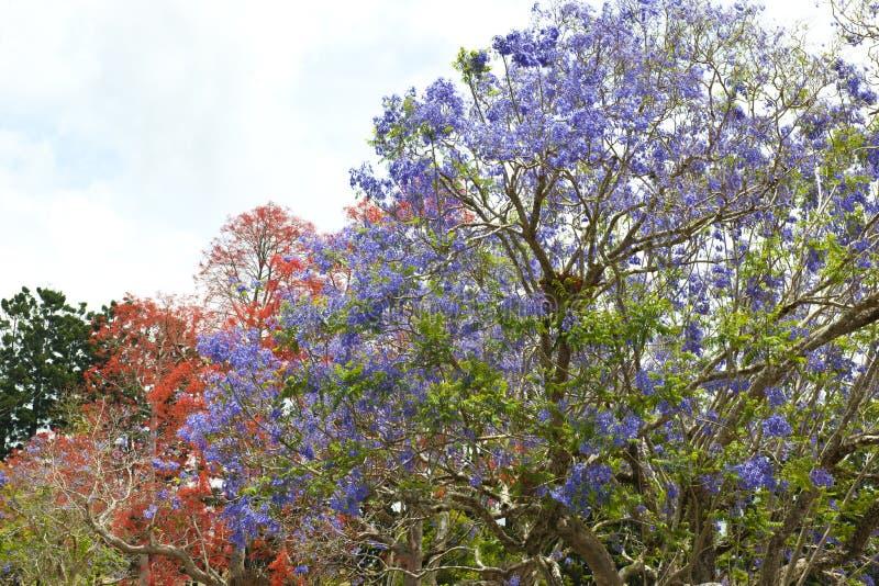 橙色和紫罗兰色开花的树-兰花楹属植物树 免版税库存图片