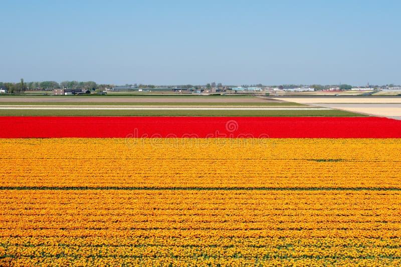 橙色和红色郁金香领域在荷兰 图库摄影