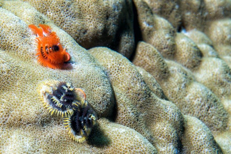 橙色和黑圣诞树蠕虫 免版税库存照片