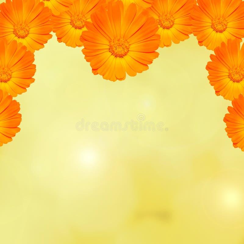 橙色和黄色金盏草officinalis开花(金盏菊,涂赭色,共同的万寿菊,庭院万寿菊),纹理背景 库存图片