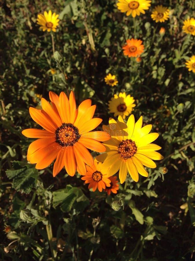 橙色和黄色雏菊 库存照片