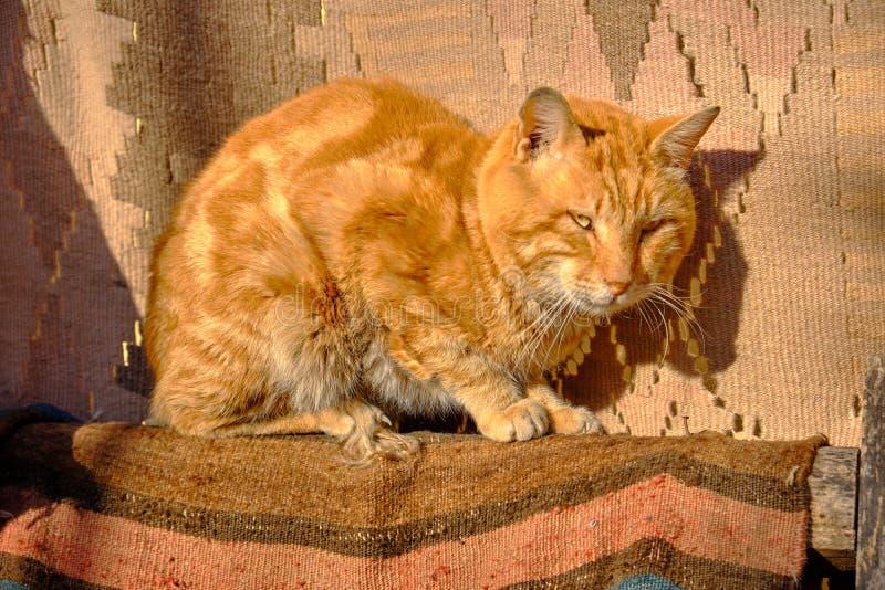 橙色土耳其猫 免版税图库摄影