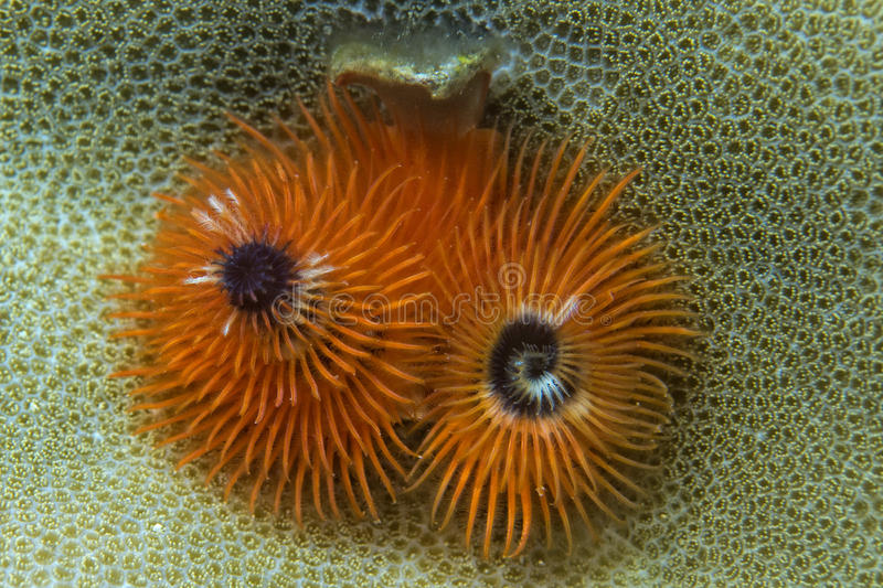 橙色圣诞树蠕虫 库存照片