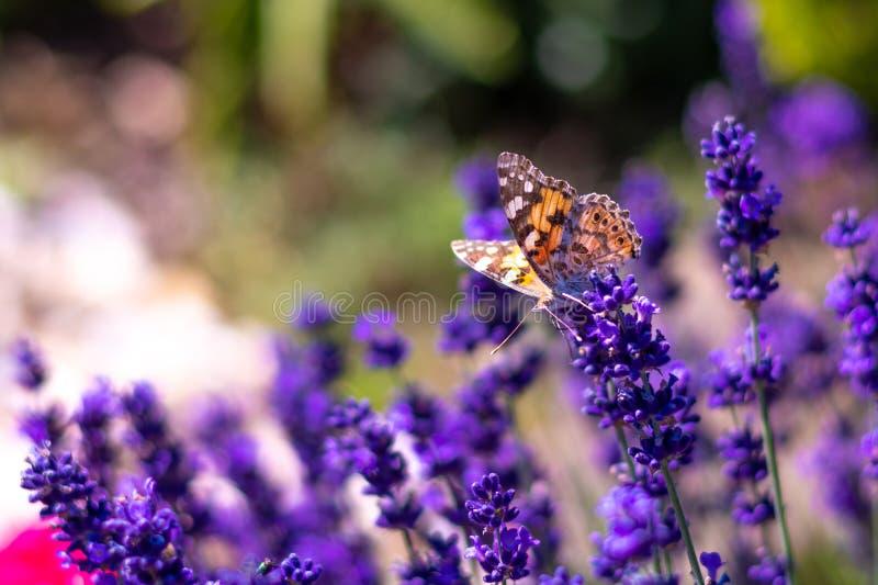 橙色在淡紫色花的蝴蝶Vanessa Cardui和蜂 有昆虫动物的紫色aromathic开花 夏天天气, 免版税图库摄影