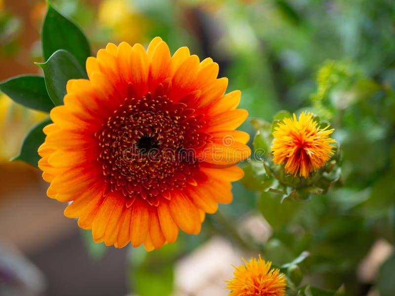 橙色大丁草花关闭在充满活力的颜色 免版税库存照片