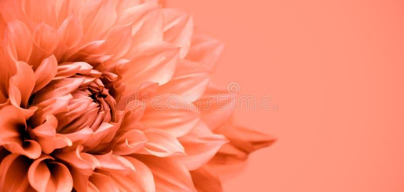 橙色大丽花花详述宏观摄影边界框架 库存照片