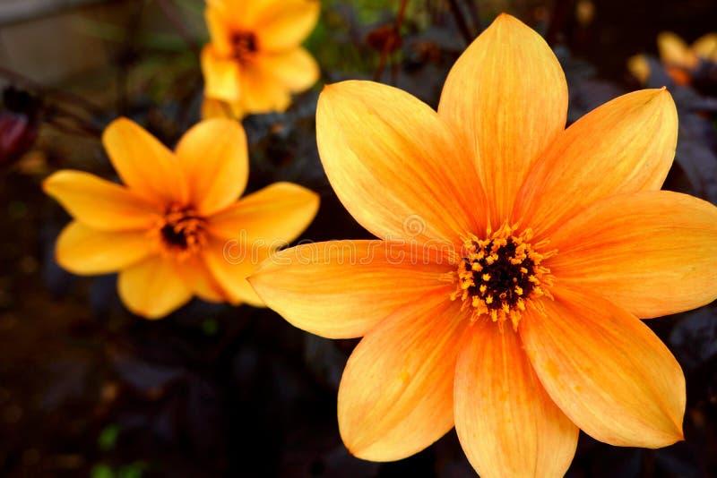 橙色大丽花 免版税图库摄影