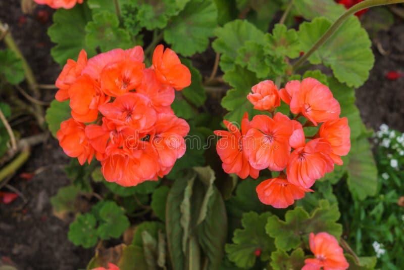 橙色大竺葵在花圃的夏天庭院里 库存照片