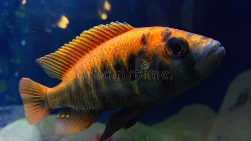 橙色孔雀丽鱼科鱼详细的特写镜头 免版税库存图片