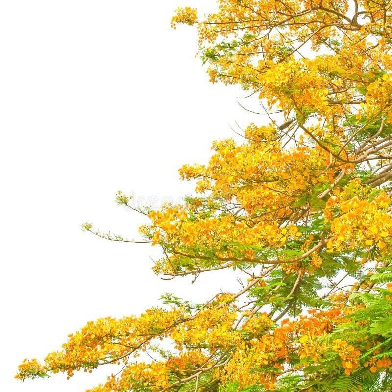 橙色孔雀花 库存照片
