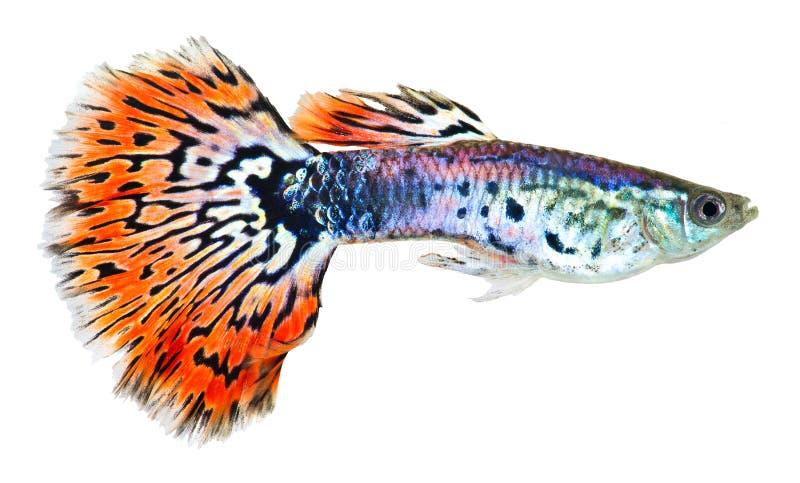 橙色尾标色彩艳丽的胎生小鱼鱼 免版税库存图片