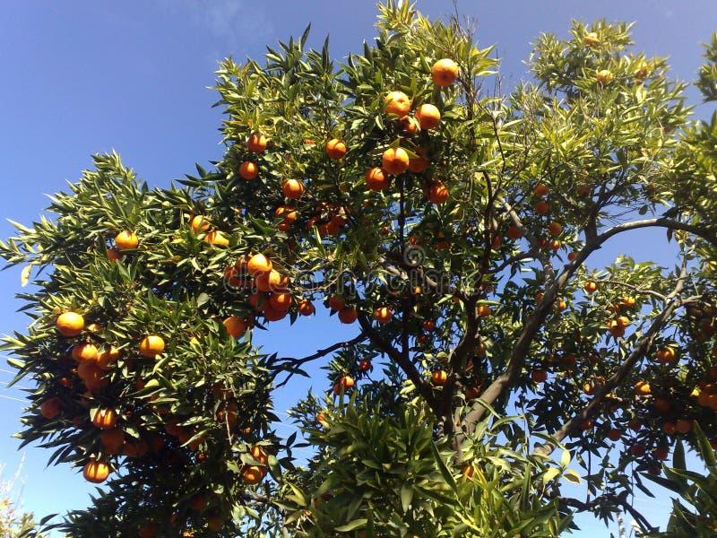 橙色庄稼在巴勒斯坦 免版税库存照片