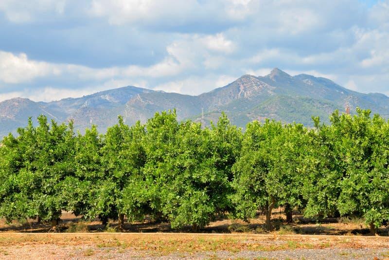 橙色庭院在巴伦西亚 库存图片