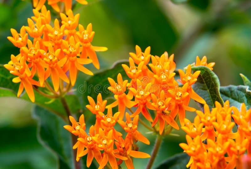 橙色微型野花群 免版税库存图片