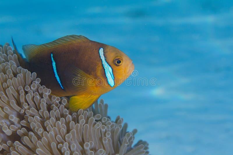 橙色有鳍的Anemonefish在博拉博拉岛 库存照片