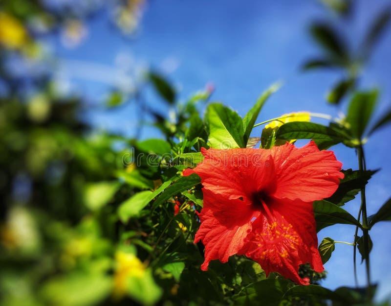 橙色木槿花在灌木开花在庭院里 库存照片