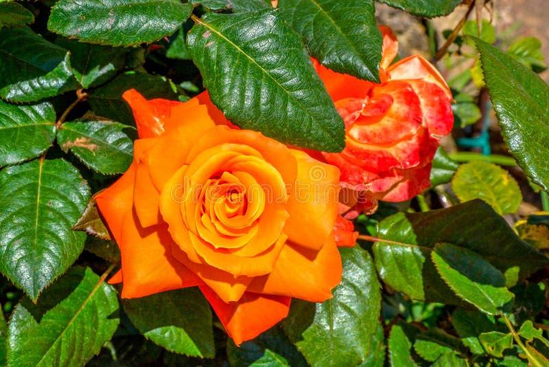 橙色杂种茶玫瑰园特写镜头 图库摄影