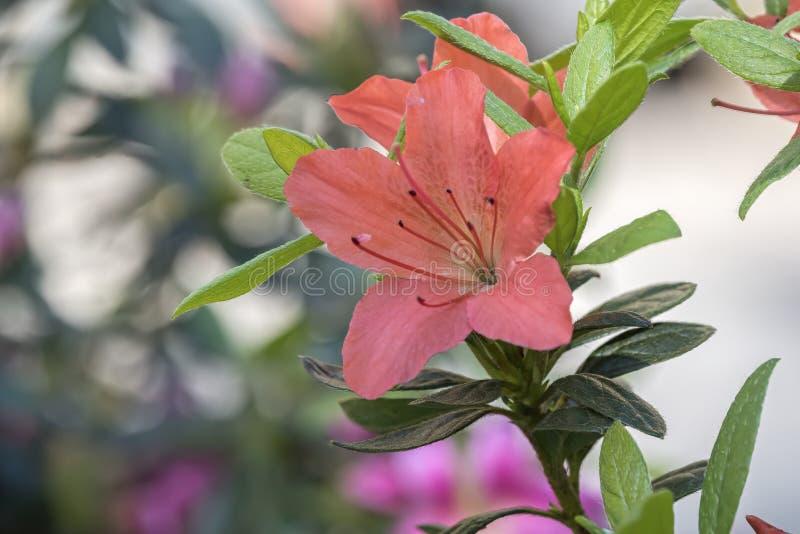 橙色杜娟花在庭院里 免版税库存照片