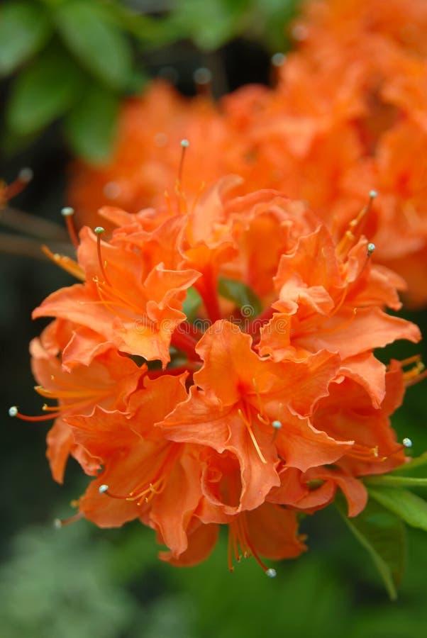 橙色杜鹃花 免版税库存图片