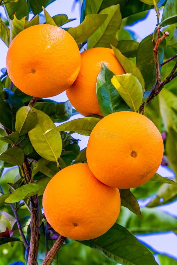 橙色果树栽培在树 库存图片