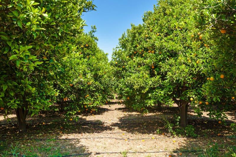 橙色树丛 免版税图库摄影