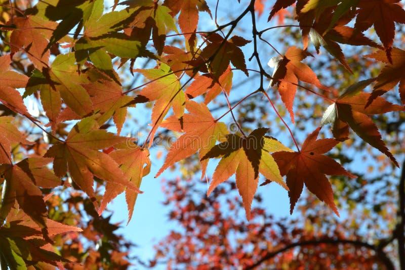 橙色槭树叶子和蓝天在秋天 免版税库存照片