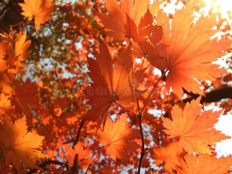 橙色槭树叶子 库存图片