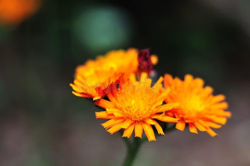 橙色水兰属的植物头状花序  免版税库存照片