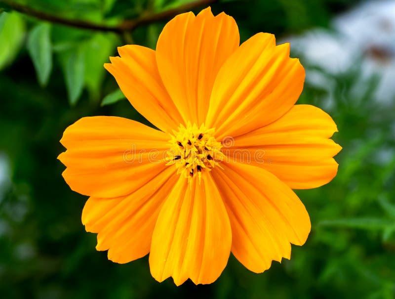 橙色波斯菊花的面孔 免版税库存图片