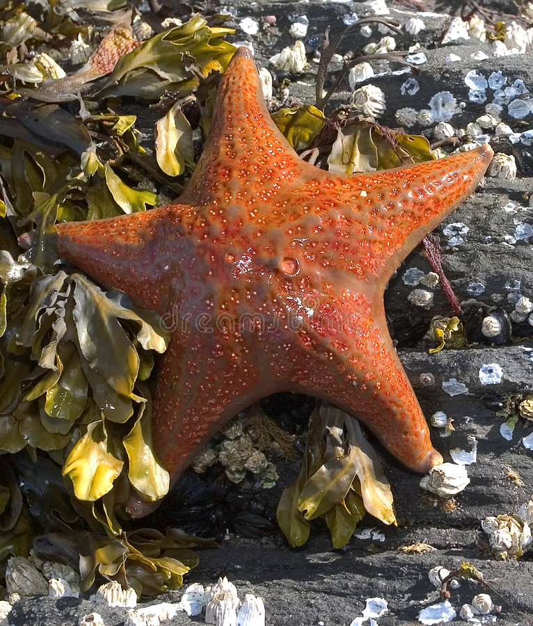 橙色海星 免版税库存照片