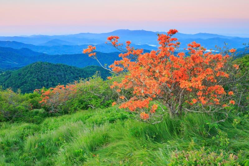 橙色火焰杜娟花,杜鹃花Calendulaceum 免版税库存图片