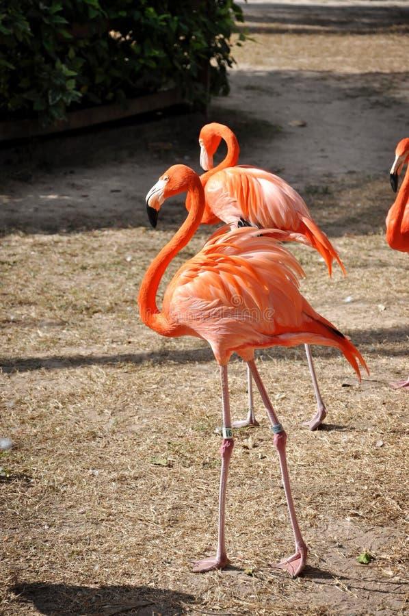 橙色火鸟 免版税库存图片
