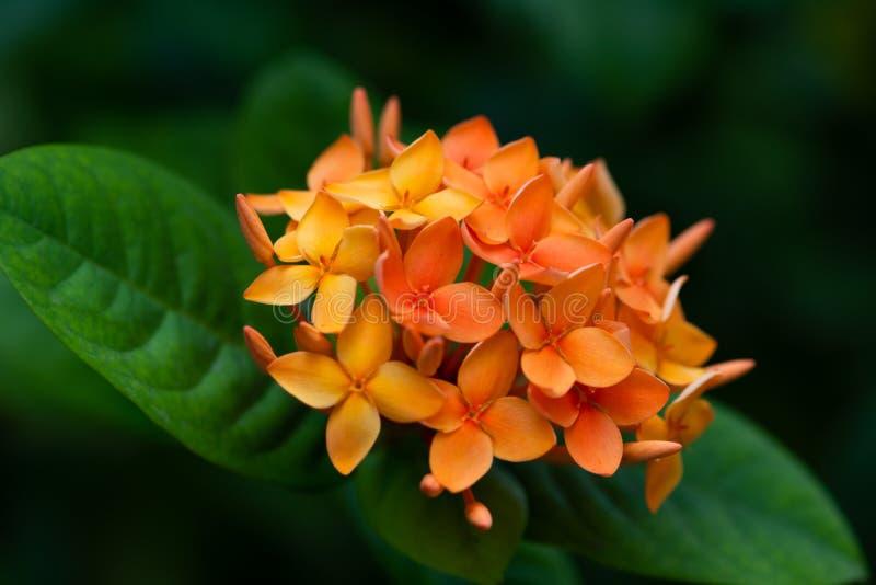 橙色热带花群 免版税库存照片