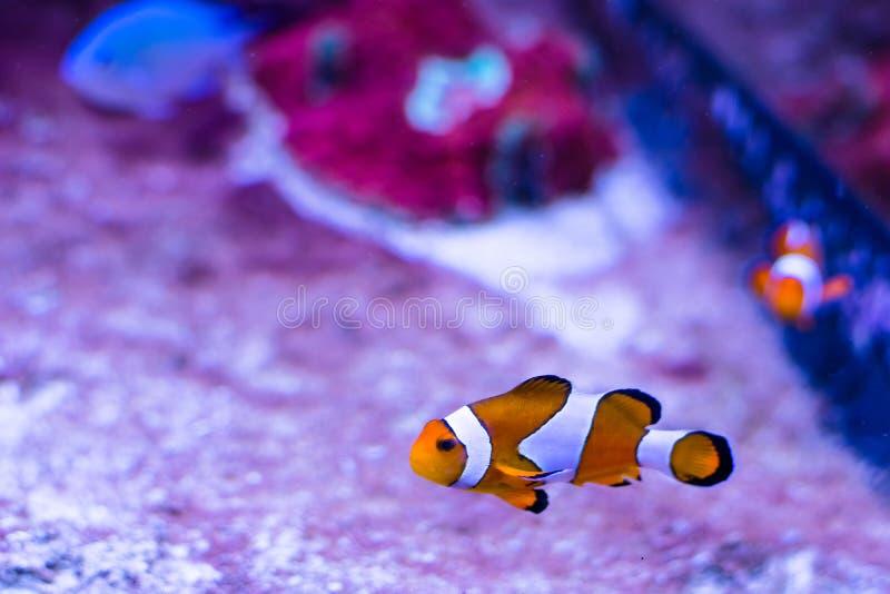 橙色热带鱼双锯鱼perkula (Premnas,小丑鱼) 免版税图库摄影