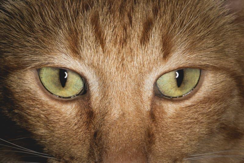 橙色猫面孔和眼睛关闭  库存图片