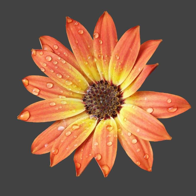 橙色玛格丽塔酒 免版税图库摄影