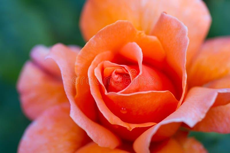 橙色玫瑰的宏指令 免版税图库摄影