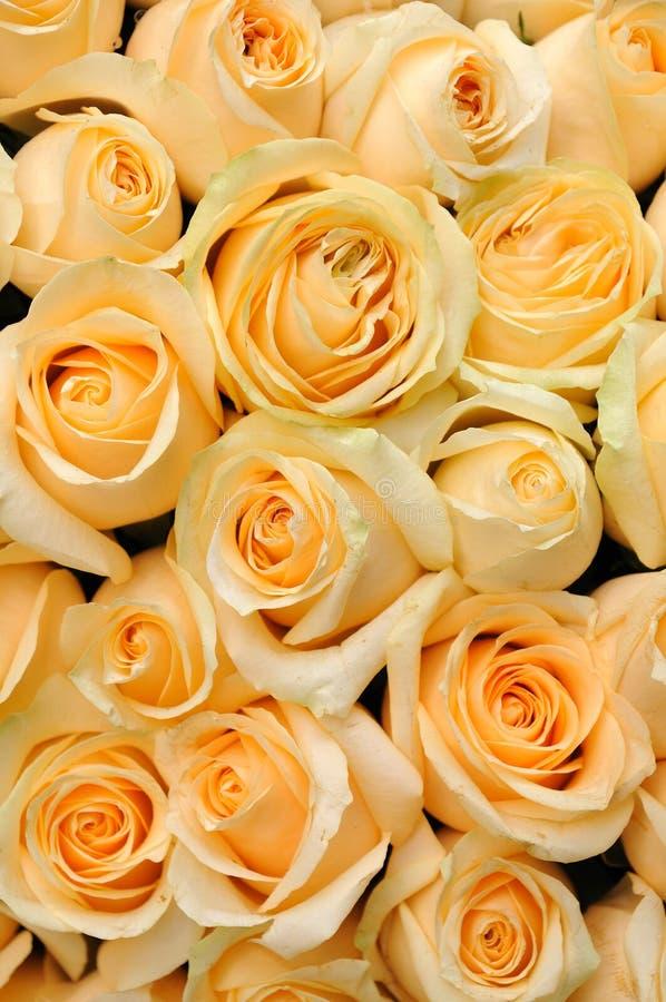 橙色玫瑰 库存图片