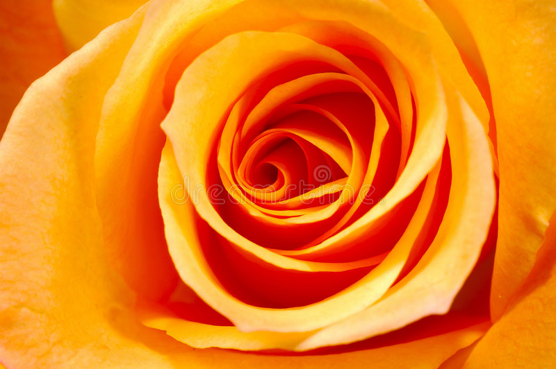 橙色瓣上升了 库存图片