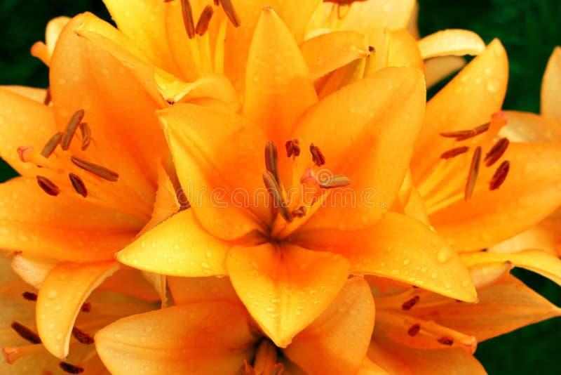 橙色百合的图象 库存图片