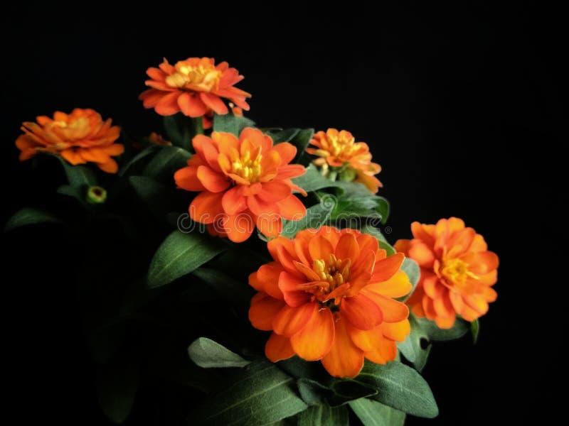 橙色百日菊属花黑色背景 免版税库存照片