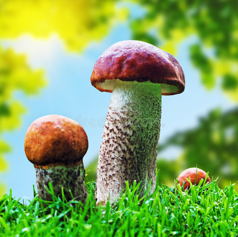 橙色盖帽牛肝菌蕈类采蘑菇生长在森林里 库存照片