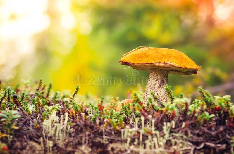 橙色盖帽牛肝菌蕈类蘑菇秋天自然 免版税库存图片