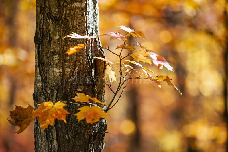橙色秋天槭树 库存图片