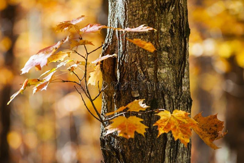 橙色秋天槭树 免版税库存照片