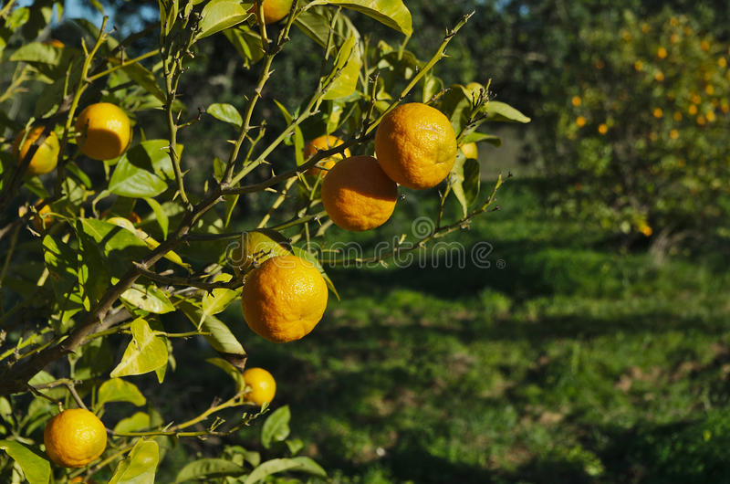 橙色种植园用准备好的桔子收集 库存照片