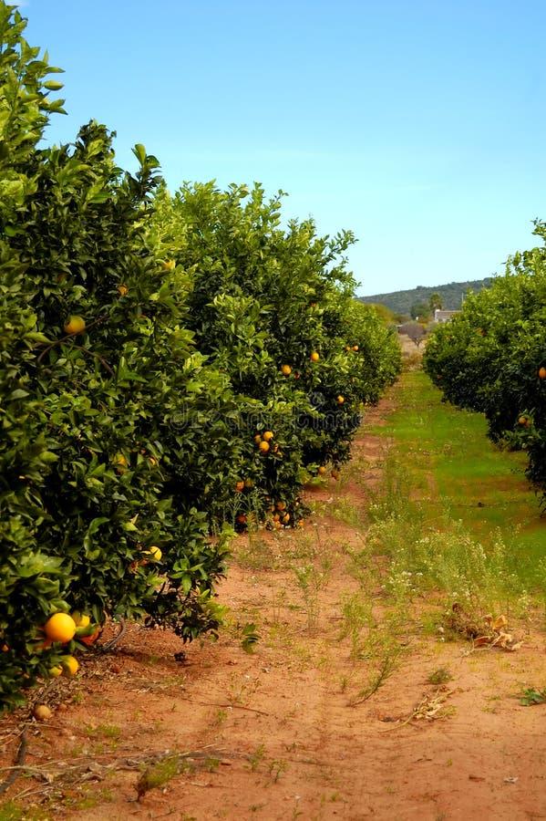 橙色种植园结构树 免版税库存图片