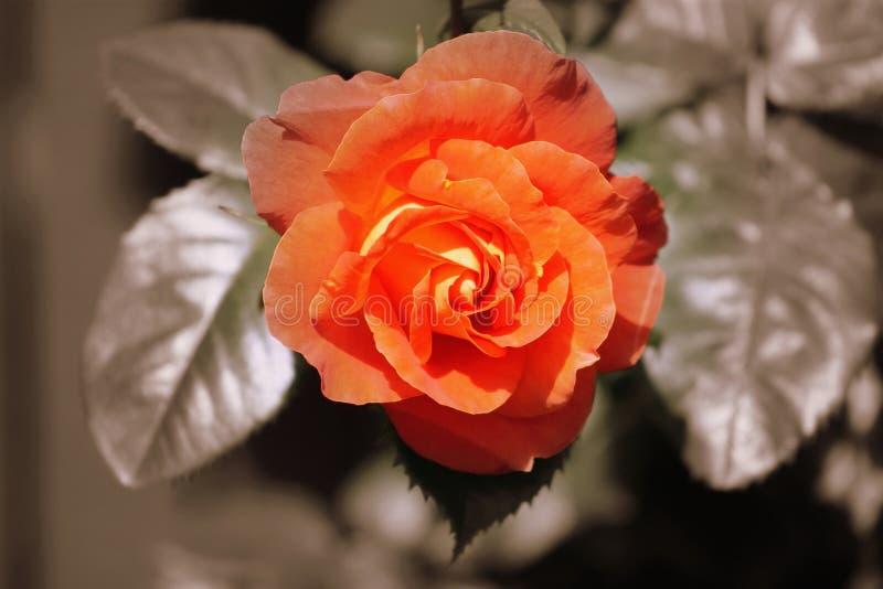 Download 橙色罗斯-被定调子的乌贼属 库存照片. 图片 包括有 乌贼属, 关闭, 浪漫, 上升了, beauvoir - 59107546