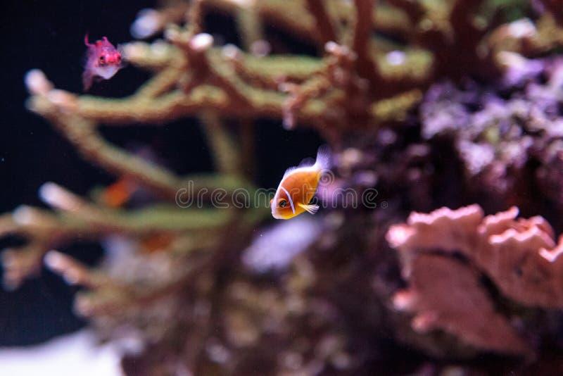 橙色臭鼬clownfish叫Amphiprion perideraion 库存图片