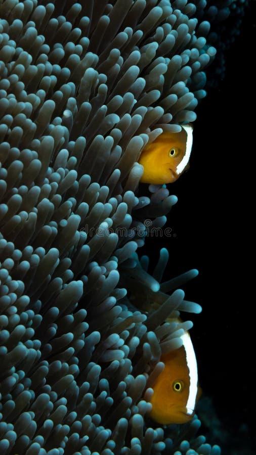 橙色臭鼬clownfish,双锯鱼sandaracinos 邦加海峡,印度尼西亚 免版税库存照片